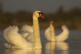 Mute Swan / Knobbelzwaan