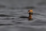 Horned Grebe / Kuifduiker