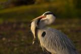 Grey Heron / Blauwe Reiger