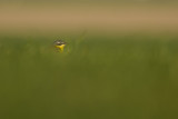 Blue-headed Wagtail / Gele Kwikstaart