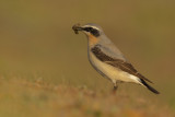 Northern Wheatear / Tapuit