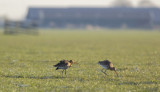 pair of Black-tailed Godwits / paartje Grutto