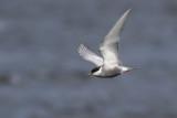 Whiskered Tern / Witwangstern