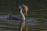 Great Crested Grebe with fish / Fuut met vis