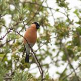 Eurasian Bullfinch / Goudvink