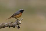 Common Redstart / Gekraagde Roodstaart