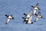 Tufted Ducks / Kuifeenden