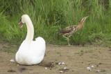 Great Bittern and Mute Swan / Roerdomp en Knobbelzwaan