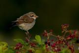 Red-backed Shrike / Grauwe Klauwier