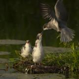 Black Terns / Zwarte Sterns