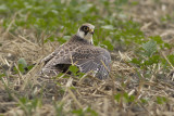 Red-footed Falcon / Roodpootvalk