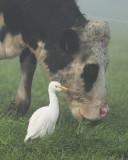 Cattle Egret / Koereiger
