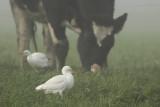 Cattle Egrets / Koereigers
