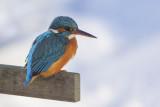 Common Kingfisher / IJsvogel