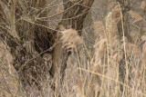 Tawny Owl / Bosuil