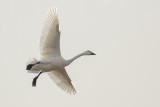Bewick's Swan / Kleine Zwaan