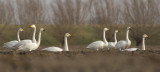 Whooper Swans and Bewick's Swans / Wilde Zwanen en Kleine Zwanen
