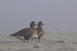 Greater White-fronted Geese / Kolganzen