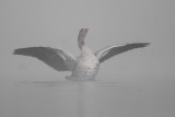 Greylag Goose in mist / Grauwe Gans in de mist