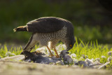 Eurasian Sparrowhawk with Collared Dove / Sperwer met Turkse Tortel