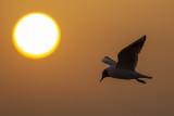 Black-headed Gull and rising sun / Kokmeeuw en de opkomende zon