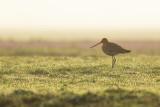 Black-tailed Godwit / Grutto