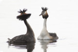 Great Crested Grebes / Futen