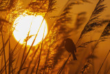 Reed Bunting in sunrise light / Rietgors en opkomende zon