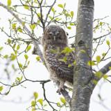 juvenile Tawny Owl / juveniele Bosuil