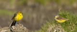 male Yellow Wagtail with female Blue-headed Wagtail / Engelse Kwikstaart met vrouwtje gewone Gele Kwikstaart