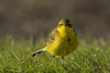 Yellow Wagtail / Engelse Kwikstaart