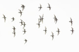 Black-tailed Godwits / Grutto's
