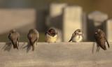 Sand Martins with Barn Swallow / Oeverzwaluwen en één Boerenzwaluw