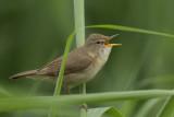 Blyth's Reed Warbler / Struikrietzanger