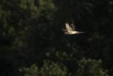 Grauwe Kiekendief