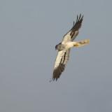 Montagu's Harrier / Grauwe Kiekendief