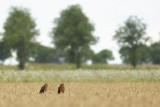 Montagu's Harriers / Grauwe Kiekendieven
