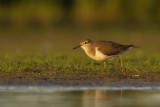 Common Sandpiper / Oeverloper