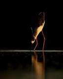 Black-winged Stilt / Steltkluut