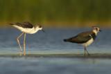 Black-winged Stilt and Northern Lapwing / Steltkluut en Kievit