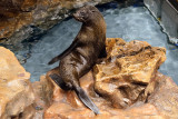 South American Fur Seal