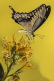 Porte-queue Thomas / Thoas Swallowtail (Papilio thoas)