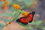 Céthosia biblis / Red Lacewing (Cethosia biblis)