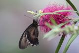 Voilier polydamas / The Gold Rim Swallowtail (Battus polydamas)