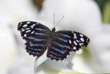 Myscelia ethusa / Mexican Blueing (Myscelia ethusa)
