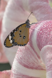 Petit monarque / African Monarch (Danaus chrysippus)