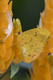 Soufré géant / Orange-barred Sulphur (Phoebis philea)