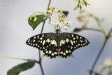 Voilier des citronniers / Citrus Swallowtail (Papilio demodocus)