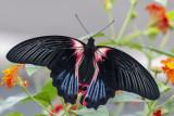 Porte-queue écarlate / Scarlet Mormon (Papilio rumanzovia)
