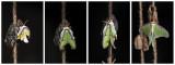 Papillon lune / Luna Moth (Actias luna)